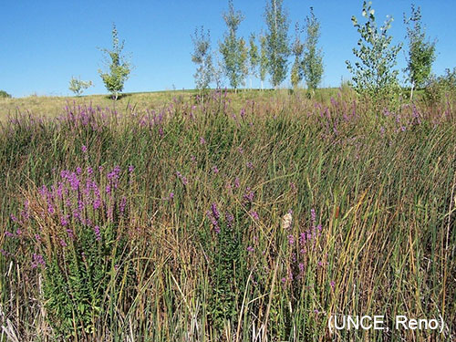 Purple Loose Strife
