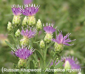 Russian Knapweed - Photo from the Colorado Department of Ag